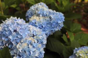 Blue flowers on UConn campus